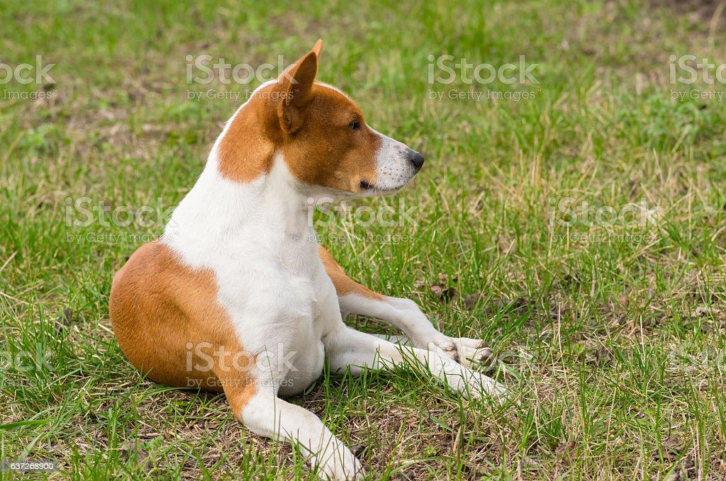 Basenji dog lying on ground in spring grass stock photo