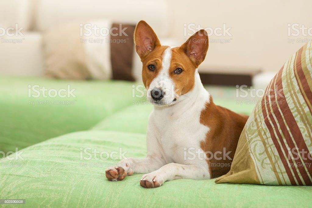 Basenji dog lying on the sofa stock photo