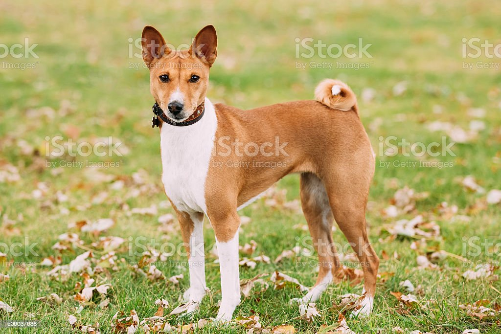 Basenji dog on grass. Breed of hunting dog. Kongo Terrier stock photo