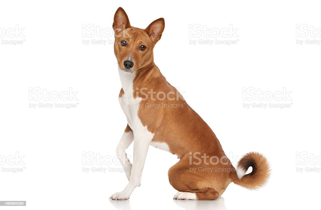 Basenji dog stock photo