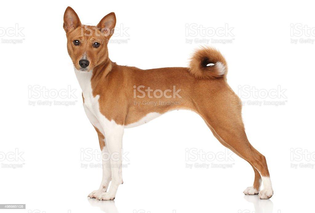 Basenji dog stock photo