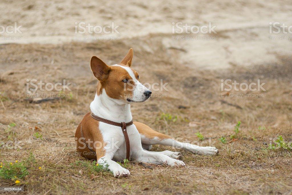 Basenji dog resting on the ground stock photo