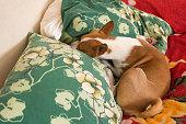 Basenji dog sleeping in its favorite pose on master's pillows
