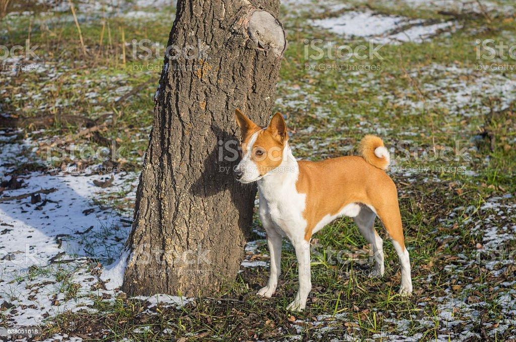 Basenji dog standing near tree in park stock photo