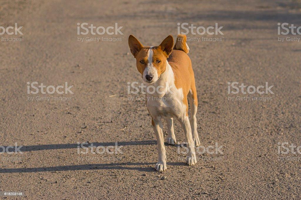 Basenji dog standing on an asphalt road stock photo