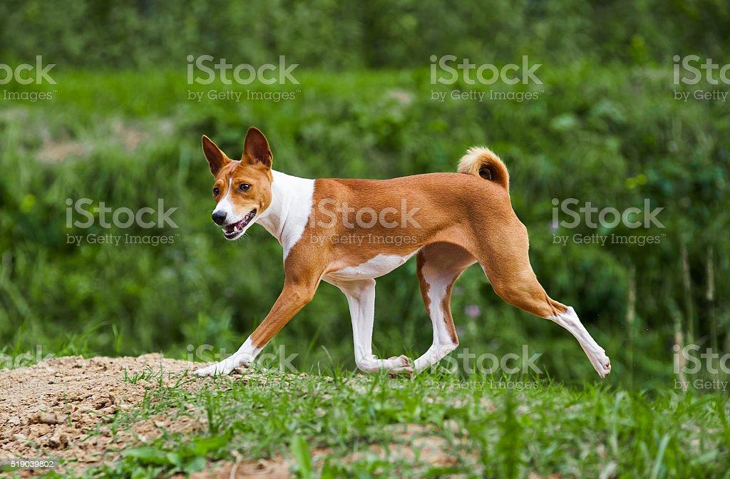basenji dog trotting in forest stock photo