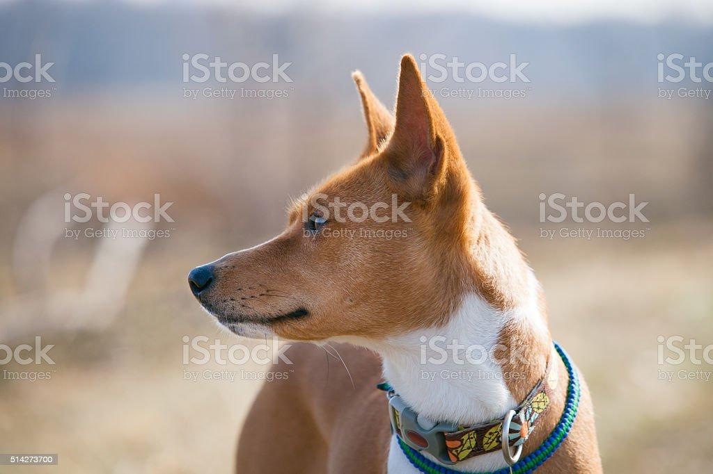 Basenji dog walking in the park stock photo