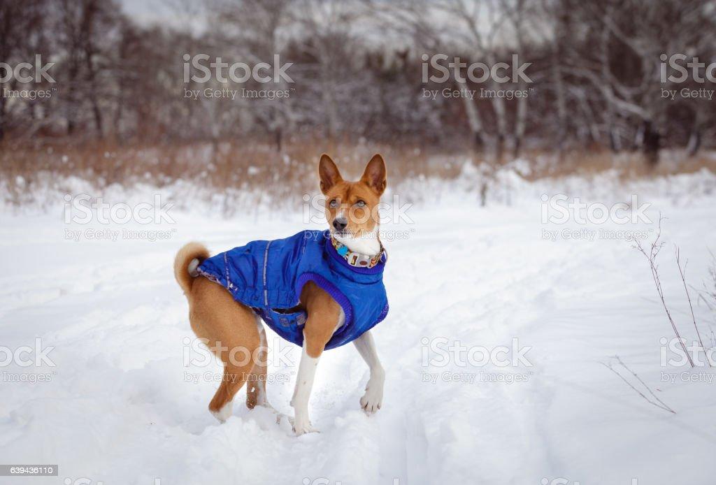 Basenji dog walking in winter forest stock photo