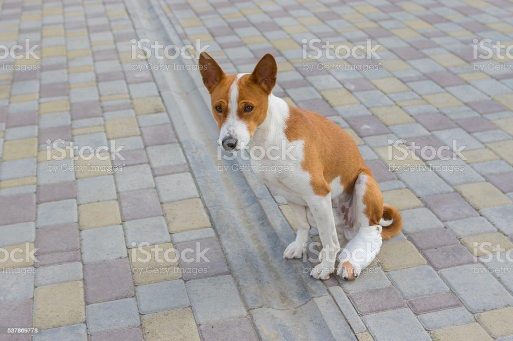 Basenji dog with broken bandaged hind feet stock photo