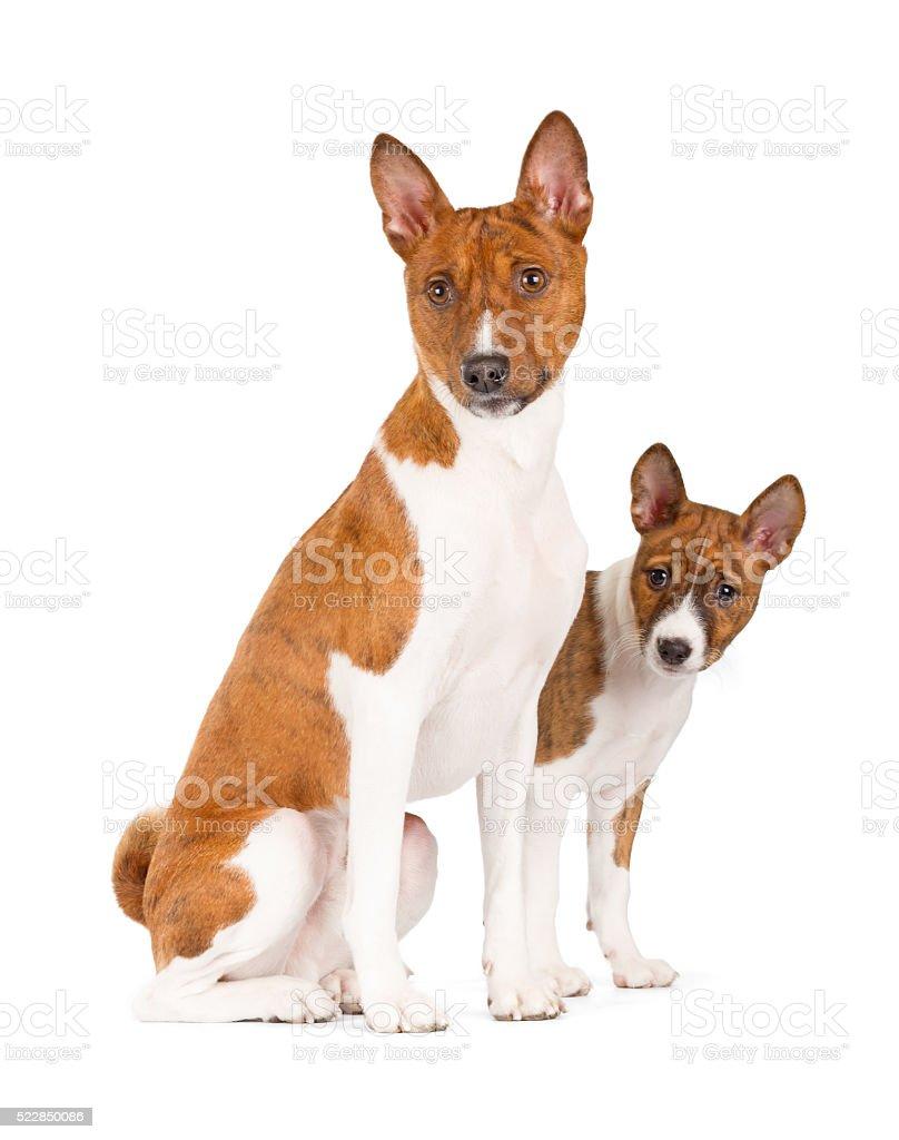 Basenji dogs sitting. stock photo