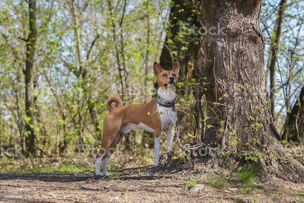 Basenji dogs walk in the park. Spring stock photo