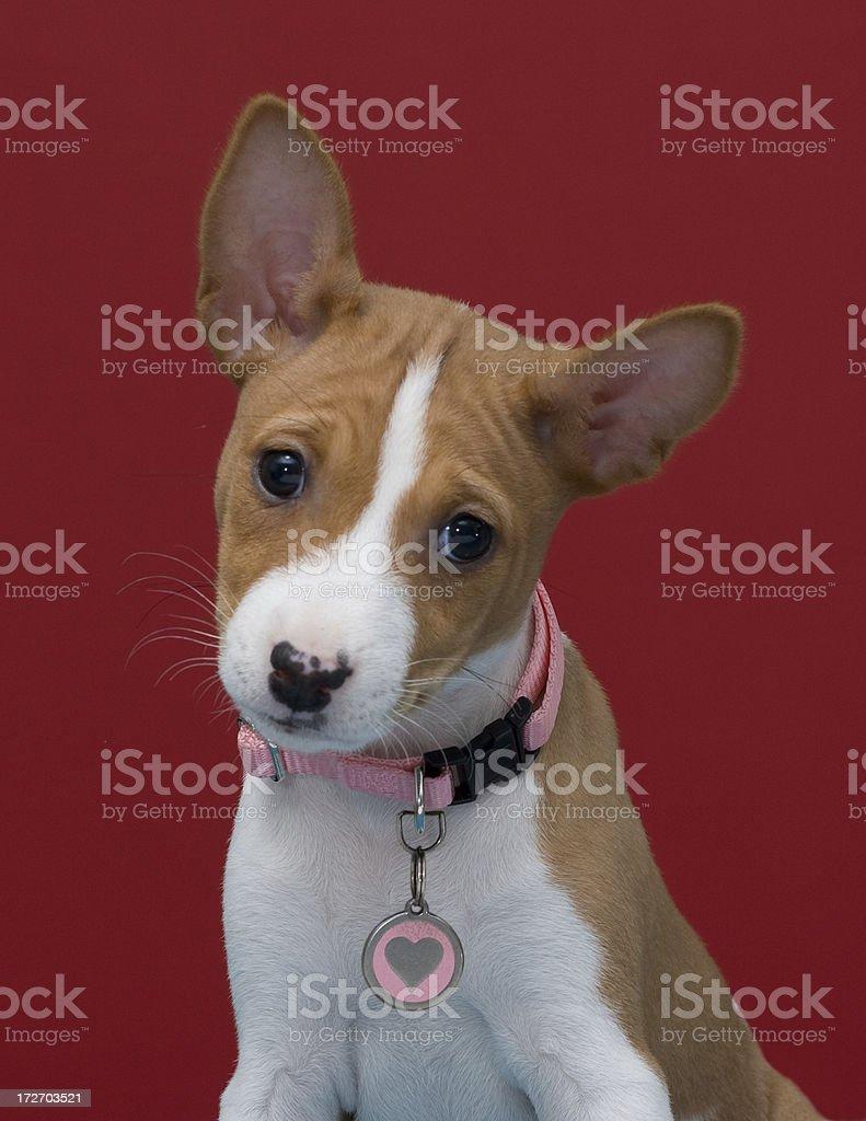 Basenji Female Puppy stock photo