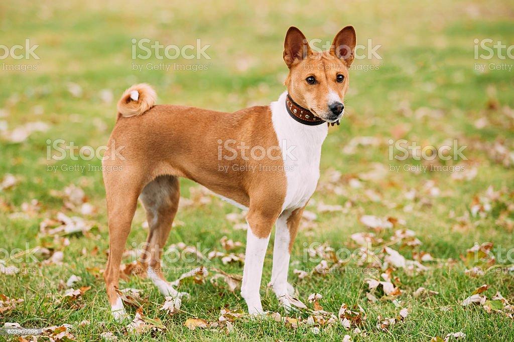 Basenji Kongo Terrier Dog. The Basenji  Breed Of Hunting Dog stock photo