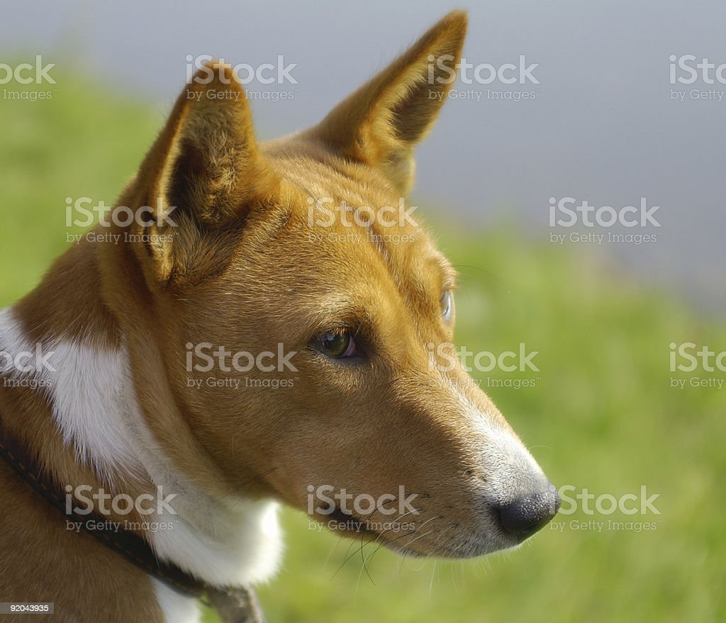 Basenji portrait stock photo