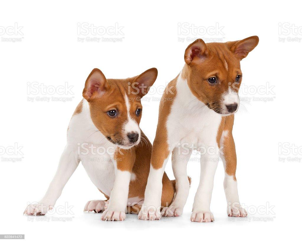 Basenji puppies stock photo