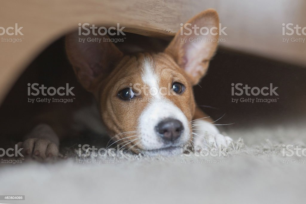Basenji puppy, house pet playing under the bed stock photo