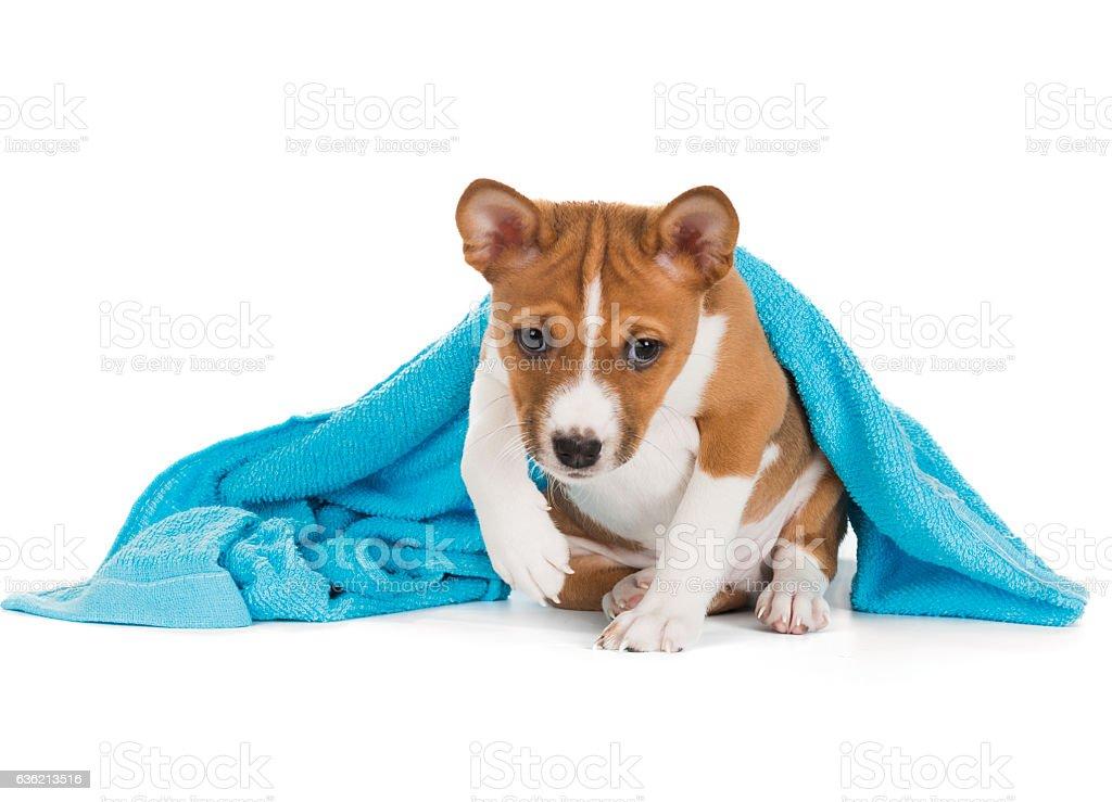 Basenji puppy on a white background stock photo