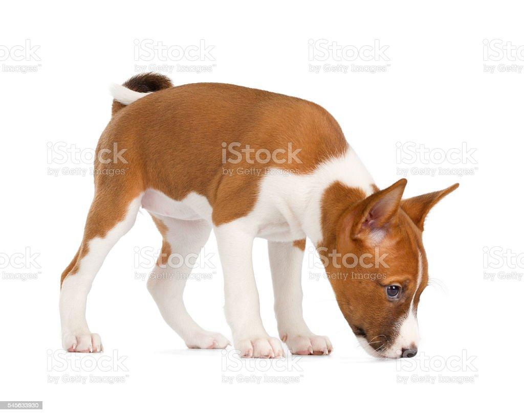 Basenji puppy sniffing stock photo