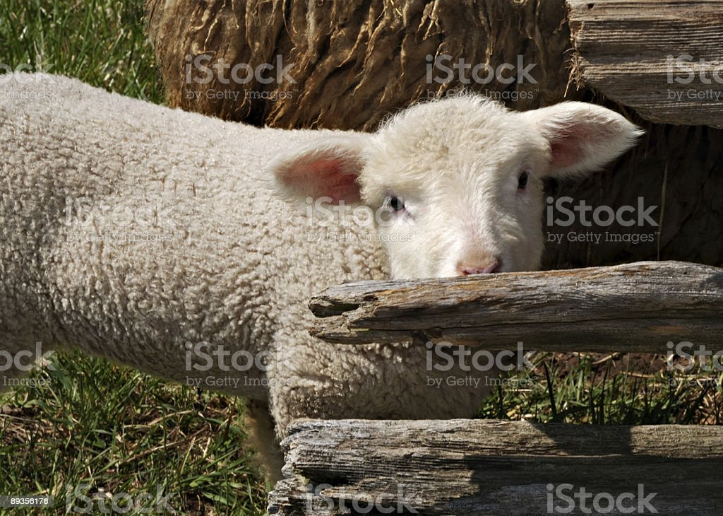 Bashful sheep royalty-free stock photo