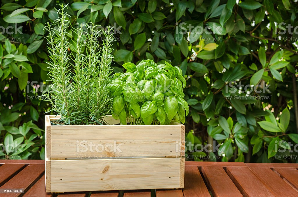 Basil and Rosemary Plants stock photo
