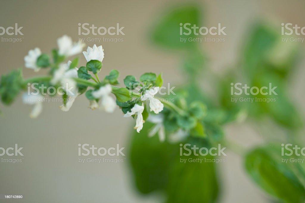 Basil Blooming royalty-free stock photo