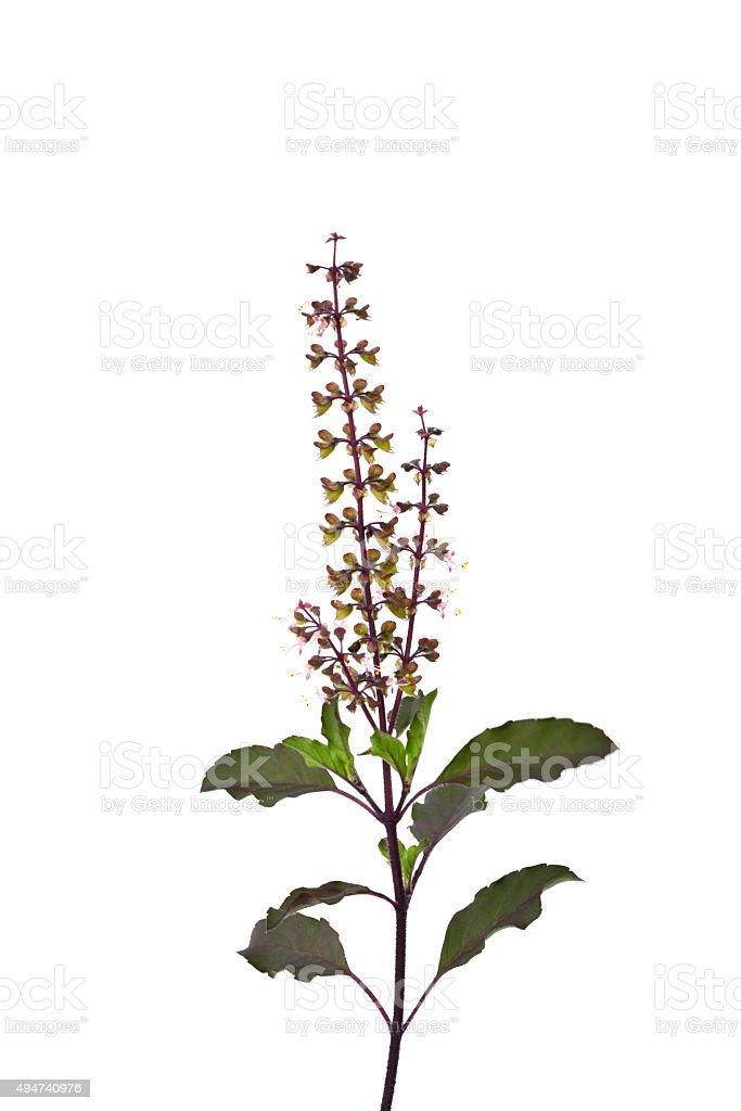 Basil flower isolated on white background. stock photo