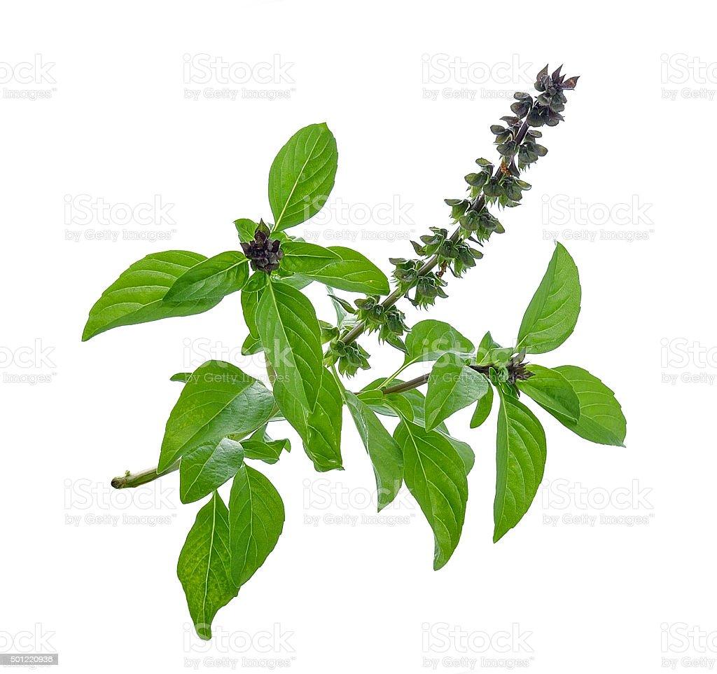 Basil flower stock photo