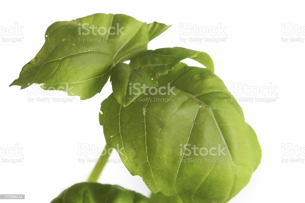 basil for cooking royalty-free stock photo