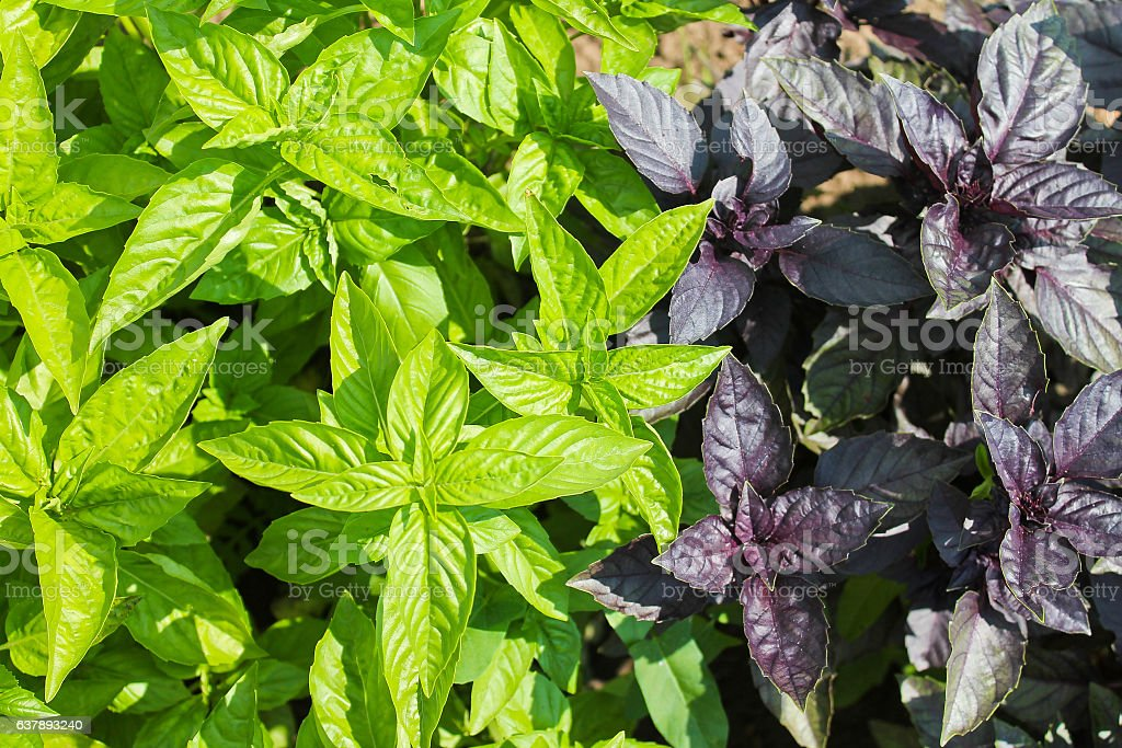 Basil green and purple, salad stock photo