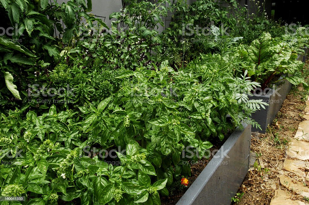 Basil Growing in a Garden royalty-free stock photo