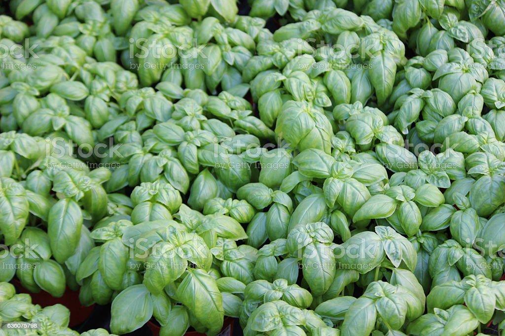 Basil grown in greenhouses - Italian Riviera stock photo