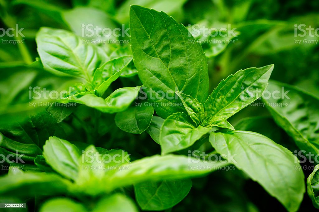 Basil Herb Food Seasoning Plant Part Herb Garden stock photo