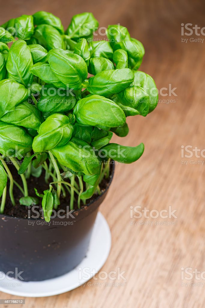 basil herb plant on wooden table stock photo