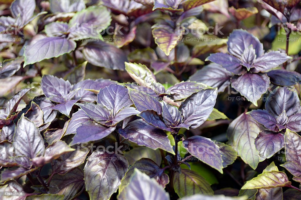 Basil in a greenhouse. stock photo