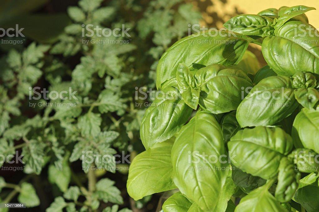 Basil in a kitchen garden royalty-free stock photo