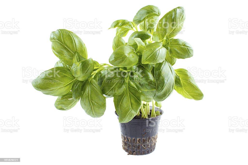 Basil in pot royalty-free stock photo