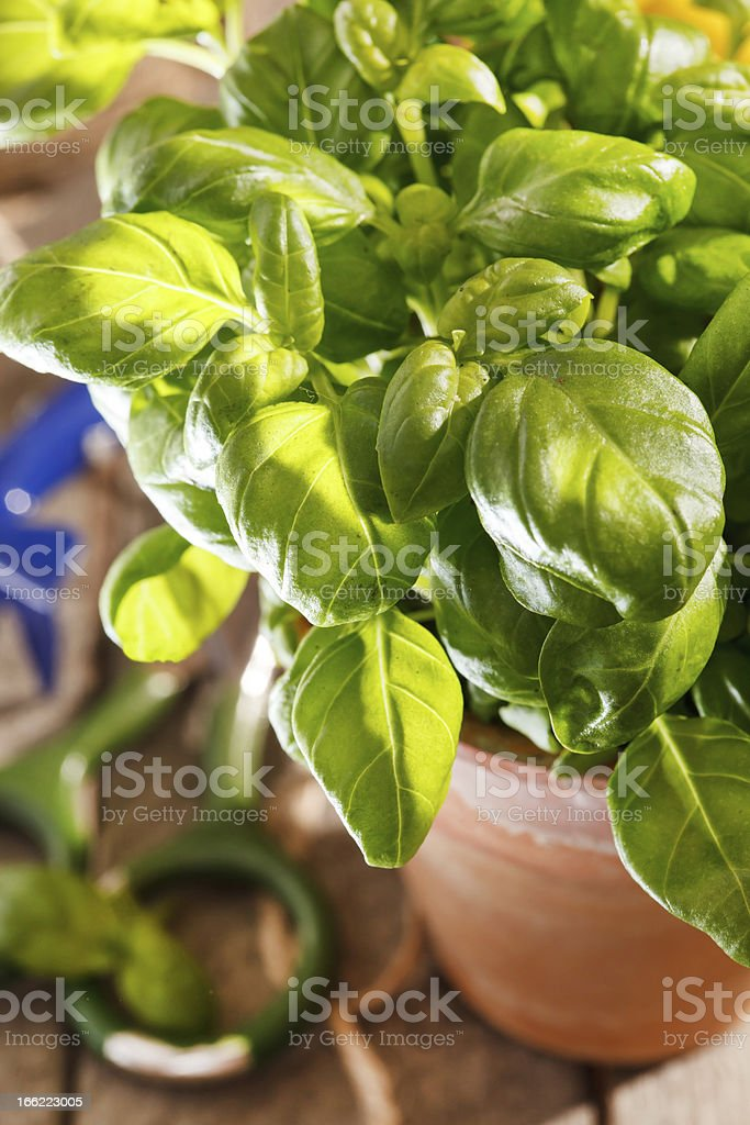 basil in the pot royalty-free stock photo