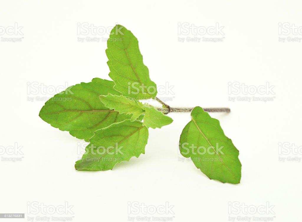 Basil leaf stock photo