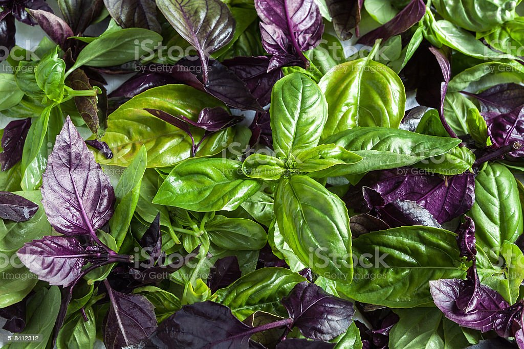 basil leaf stock photo