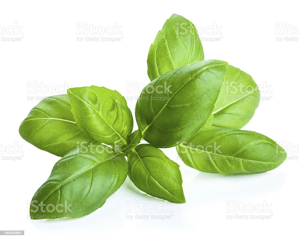 basil leaves isolated stock photo