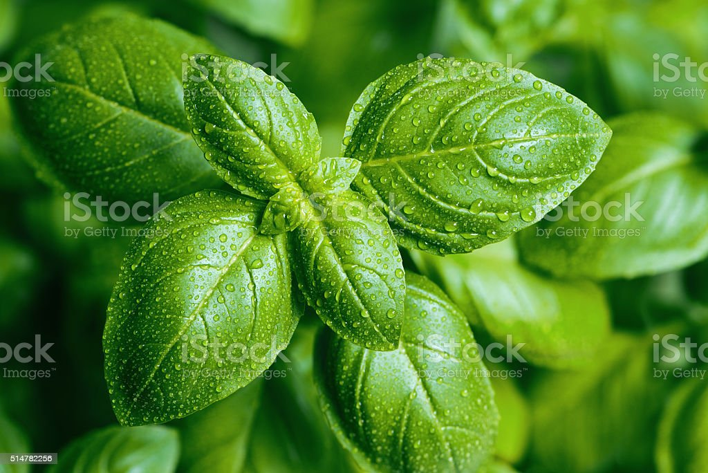 Basil leaves with water drops stock photo