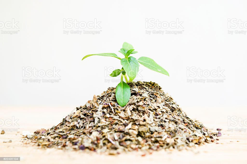 Basil stock photo