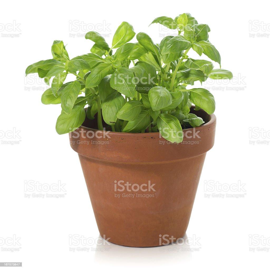 Basil plant royalty-free stock photo