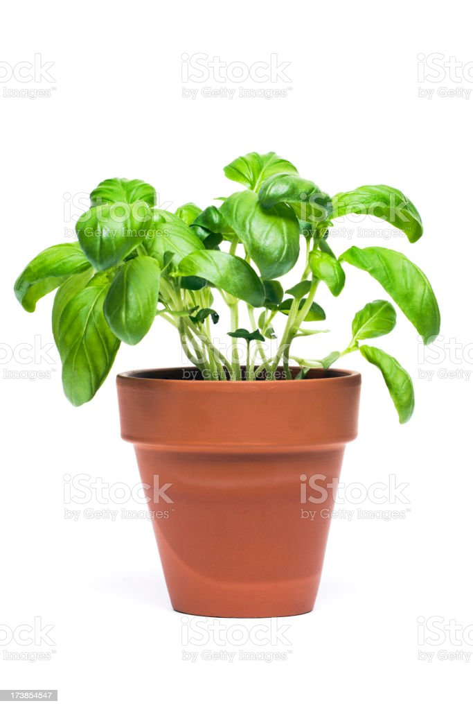 Basil Potted Herb Plant Cut Out Isolated on White Background stock photo