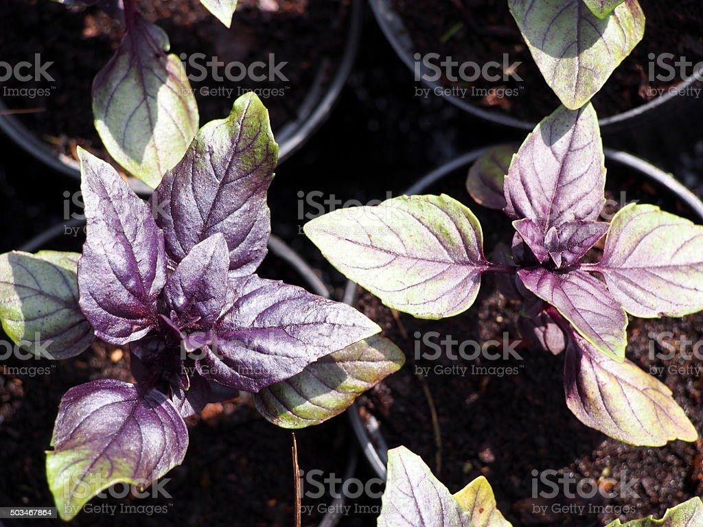 Basil seedlings in pots stock photo
