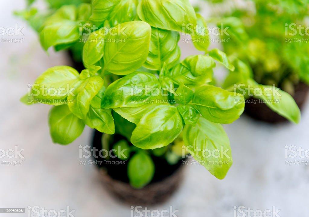 Basil Seedlings stock photo