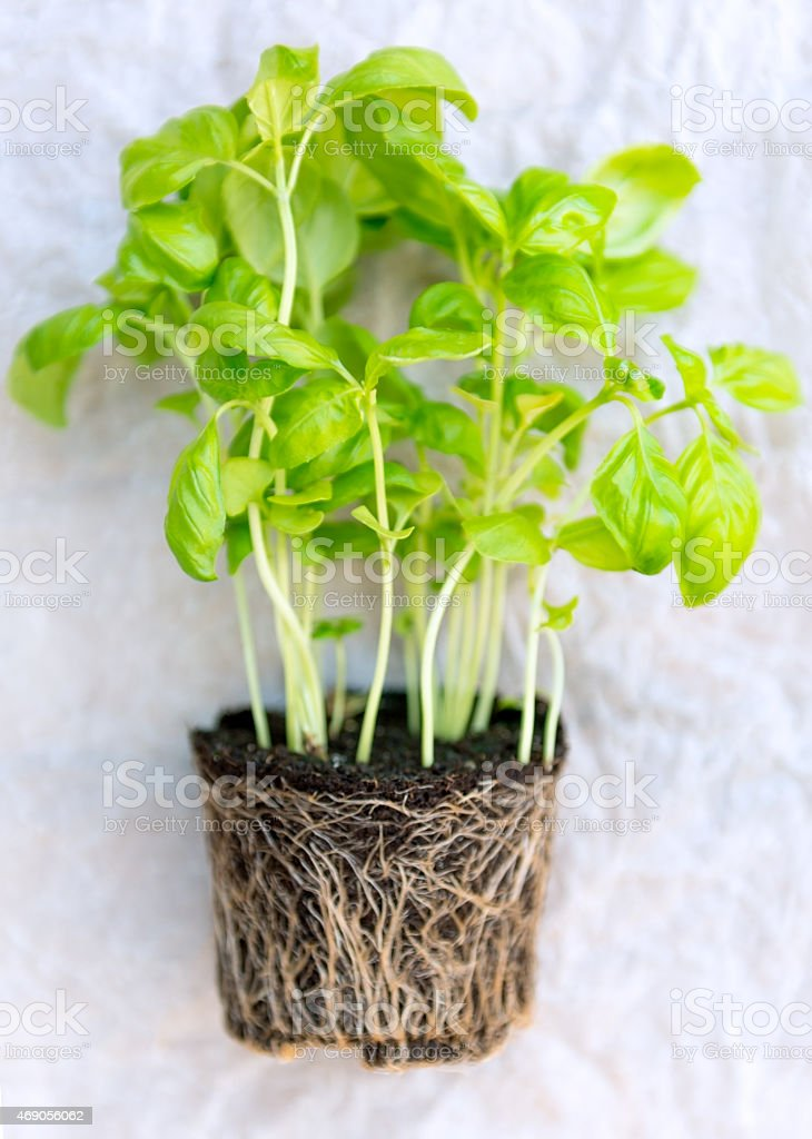 Basil Seedlings with Roots stock photo