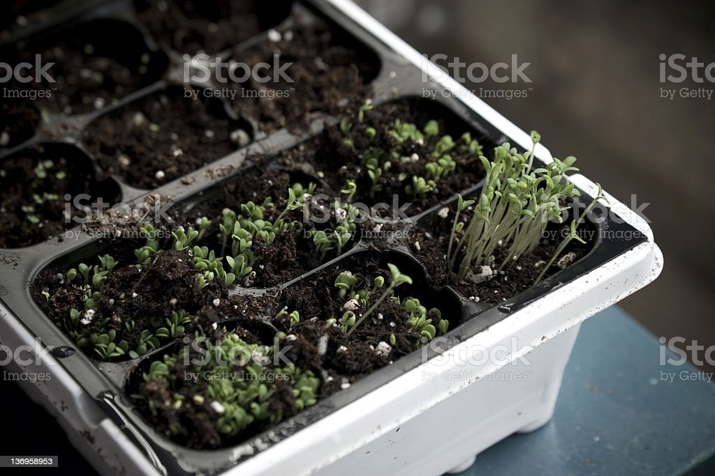 Basil sprout royalty-free stock photo