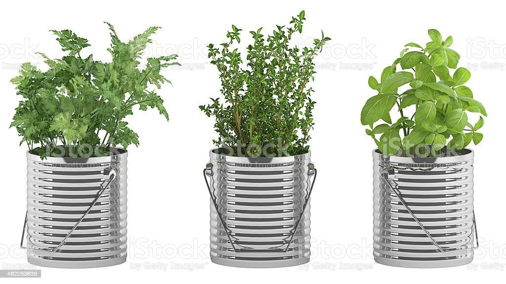 basil, thyme, parsley in the metal flower pots stock photo