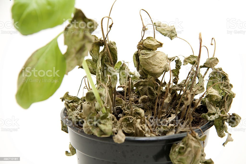 Basil with pot stock photo